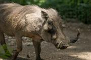 Henry Doorly Zoo Prints - Warthog At The Omaha Zoo Print by Joel Sartore