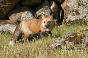 Vulpes Vulpes Posters - Wary Red Fox Poster by Sandra Bronstein