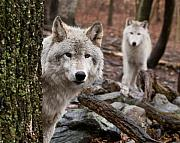 Wolves Digital Art Metal Prints - Wary Wolves Metal Print by Jim DeLillo