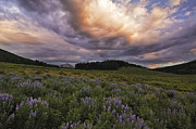 Lupines Framed Prints - Washington Gulch Flowers Framed Print by Joseph Rossbach