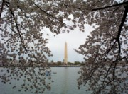 Cherry Blossom Prints - Washington Monument Print by Joyce  Kimble Smith