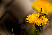My Friend Photos - Wasp and Flower  by Venura Herath