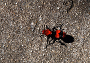 Wasp.insect Prints - Wasp Called Velvet Ant Print by Skip Willits
