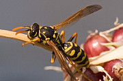 Wasp On Garlic Print by Michael Flood