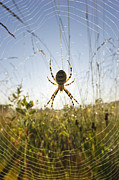Orb Weaver Framed Prints - Wasp Spider Argiope Bruennichi In Web Framed Print by Konrad Wothe