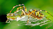 Thomas Splietker - Wasp-spider kills...