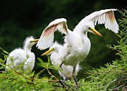 Great White Egrets Digital Art - Watch and Learn by Paulette  Thomas
