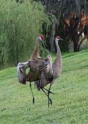 Sandhill Crane Prints - Watch Your Parents Print by Carol Groenen