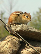 Chipmunk Photograph Posters - Watchful Chipmunk Poster by Don Downer