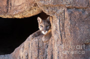 Mountain Lion Prints - Watchful Eyes Print by Sandra Bronstein