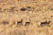 Pronghorn Photos - Watchful by Mike  Dawson