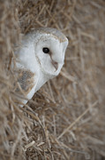 Ditch Framed Prints - Watchfull Barn Owl Framed Print by Andy Astbury