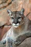 John Van Decker - Watching Cougar