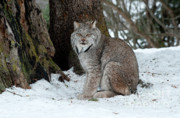 Lynx Photos - Watching Me Watch You by Sandra Bronstein