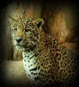 Jaguar Art Posters - Watching Poster by Sandy Keeton