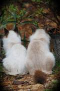 Ragdoll Kittens Photos - Watching Squirrels by Charlene Bush