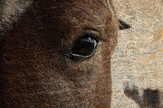 Textured Horse Art Framed Prints - Watching Framed Print by Toni Hopper