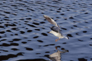 Lapwing Photos - Water Alighting by Michal Boubin
