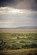 Travel - Tanzania - Water Buffalo in a Spot of Sun by Darcy Michaelchuk