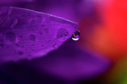Bouquet Of Flowers Posters - Water Drop Reflections With Purple II Poster by Laura Mountainspring