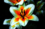 Tiger Photography Prints - Water Droplet Covered White Lily  Print by Andee Photography