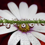 Water Drops And Daisy Print by Dr T J Martin