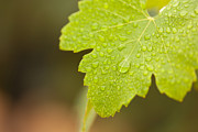 Viticulture Framed Prints - Water Drops on a Grape Leaf Framed Print by Andy Dean