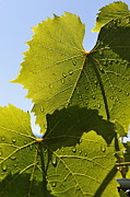 Winemaking Posters - Water drops on vine leaf after rain Poster by Sami Sarkis