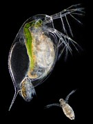 Water Filter Art - Water Flea Giving Birth by Laguna Design