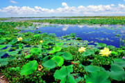 Acadian. Acadiana Framed Prints - Water lilies along the Creole Nature Trail Framed Print by Thomas R Fletcher