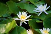 Blalock Prints - Water Lilies Print by Dana  Oliver