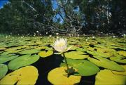 Cape Lily Photos - Water Lilies, Jardine River, Cape York by Joe Stancampiano