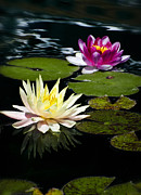 White Water Lilies Photos - Water Lilies  by Saija  Lehtonen