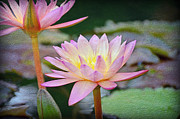 Water Lilly Acrylic Prints - Water Lilies Acrylic Print by Steven  Michael