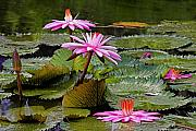 Water Lilly Photos - Water Lillies-St Lucia by Chester Williams