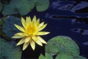 Water Lilly - 1 Print by Randy Muir