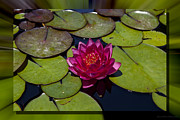 Charles Warren - Water Lilly 4