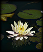 White Flower Photos - Water Lilly  by Saija  Lehtonen