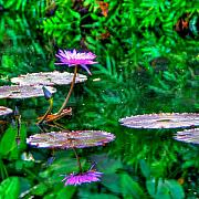 Water Lilly Acrylic Prints - Water Lilly Acrylic Print by William Wetmore