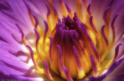 Isaac Silman - Water Lily 1