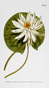 Waterlily Art - Water Lily, 1805 by Granger