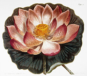 1806 Prints - Water Lily, 1806 Print by Granger