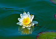 Floating In Water Prints - Water Lily 4 Print by Julie Palencia