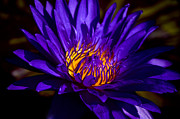 Nature Center Pond Photo Prints - Water Lily 7 Print by Julie Palencia