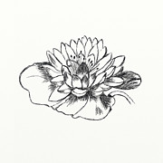 Backdrop Drawings - Water Lily by Alexei Toiskin