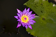 Violett Photos - Water Lily by Joe K --