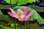 Cultivation Digital Art Prints - Water Lily Bloom2 Print by KH Lee