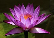 Water Lily Picture Prints - Water Lily Blossom Print by Sabrina L Ryan