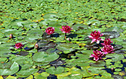 Red Leaves Photo Originals - Water Lily by Catherine Lau