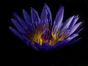 Purple Flower Framed Prints - Water Lily Framed Print by Cynthia Dickinson